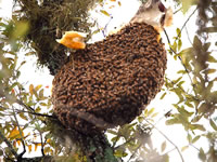 Afican Killer Bee nest in Florida